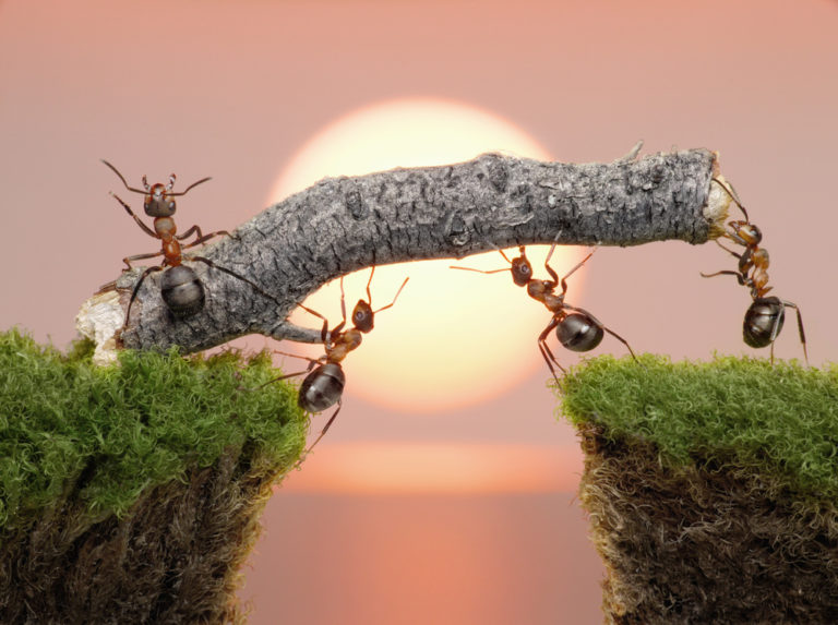 Ants working together to cross a gap